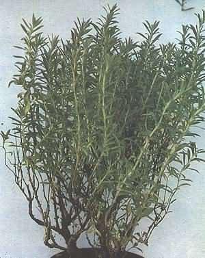 Cimbrul de gradina (Satureja hortensis - Fam. Labiatae)