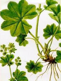 Cretisoara  (Alchemilla vulgaris - Fam. Rosaceae)