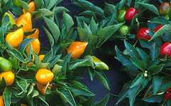 Ardeiul iute de Cayenne (Capsicum annuum L. var. cayenne - Fam. Solanaceae)