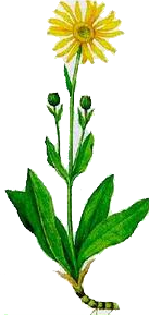 Arnica (Arnica montana - Fam. Compositae)