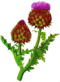 Anghinarea (Cynara scolymus - Fam. Compositae)