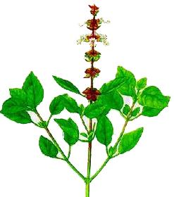 Busuioc (Ocimum basilicum - Fam. Labiatae)