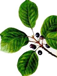 Crusinul (Rhamnus frangula - Fam. Rhamnaceae)