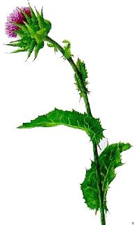 Armurariul (Silybum marianum - Fam. Compositae)