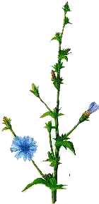 Cicoarea (Cichorium intybus - Fam. Compositae)
