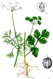 Coriandrul (Coriandrum Sativum - Fam. Umbelliferae)