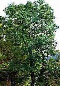 Frasinul (Fraxinus excelsior - Fam. Oleaceae)