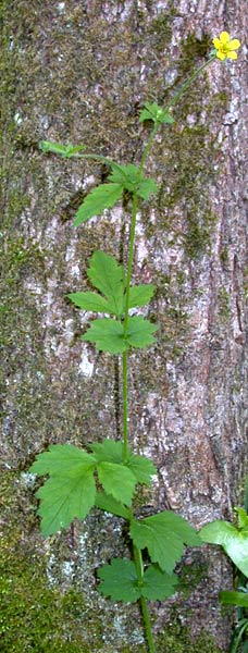 Cerentel (Geum urbanum - Fam. Rosaceae)