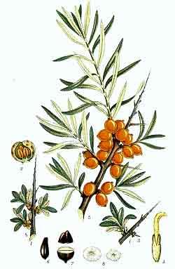 Catina (Hippophae rhamnoides - Fam. Elaeagnaceae)