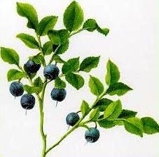 Afinul (Vaccinium myrtillus -  Fam. Ericaceae)