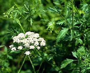 Anasonul (Pimpinella anisum - Fam. Umbeliferae)
