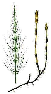 Coada calului (Equisetum arvense - Fam. Equisetaceae)