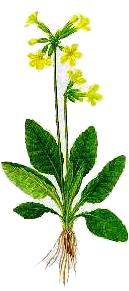 Ciubotica cucului (Primula officinalis - Fam. Primulaceae)