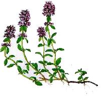 Cimbrisorul de camp (Thymus serpyllum - Fam. Labiatae)