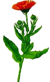 Galbenelele (Calendula Officinalis - Fam. Compositae)