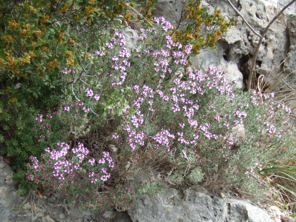 Cimbrul de cultura (Thymus vulgaris - Fam. Labiatae)